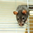 Rat in cage — Stock Photo #7546689