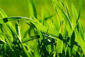 Grass texture — Foto de Stock