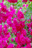 Rosen auf einem Busch — Stockfoto
