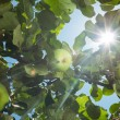 Stockfoto: Sun rays go through apple tree leafs