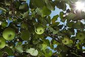 Raggi del sole passano attraverso apple tree foglie riflesso lente — Foto Stock