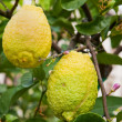 Royalty-Free Stock Photo: Fresh yellow lemons on tree