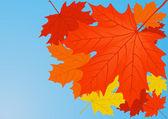 Autumn maple leaves. — Stockfoto