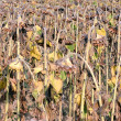 Closeup Dried Sunflowers — Stock Photo