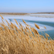 Dry Reeds in the Winter — Stock Photo