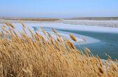 Suché rákosí v zimě — Stock fotografie