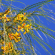 Forsythia Twigs Against Blue Sky Background — Stock Photo