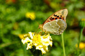 High brown fritillary — Стоковое фото