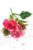 Pink rose on the mirror — Stock Photo