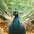 Peacock — Stock Photo #6844857