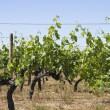 Vineyards at summer — Stock Photo