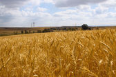 Ripe wheat — Stockfoto