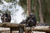 Chimpanzé — Foto Stock
