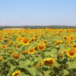 Stock Photo: Summer sunflowers field under the hills