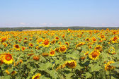 Summer sunflowers field under the hills — Stock Photo