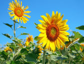 Blossom sunflower over blue sky — Stock Photo