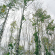 Stock Photo: Birches on overcast sky