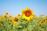 Blossom sunflower on the field — Stock Photo