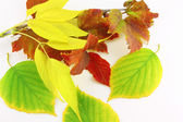Twigs with autumn color leaves — Stock Photo