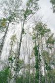 Birches on the overcast sky — Stock Photo
