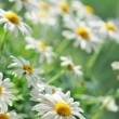 Daisies — Stock Photo #6891502