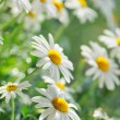 Chamomile — Stock Photo #7331925