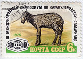 USSR shows Karakul Lamb — Stock Photo
