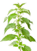 Nettle plant — Stock Photo