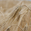 Royalty-Free Stock Photo: Field rye