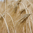 Field rye — Stock Photo #6941268