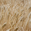 Field rye — Stock Photo