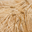 Field rye — Stock Photo #6941286