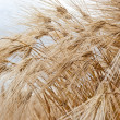 Field rye — Stock Photo #6941328