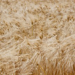 Field rye — Stock Photo #6941341