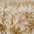 Field rye — Stock Photo #6941370