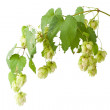 Hop isolated on white background — Stock Photo #6944350