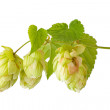 Stock Photo: Hop isolated on white background