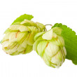 Hop isolated on white background — Foto de Stock
