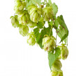 Hop isolated on white background — Stock Photo #6944375