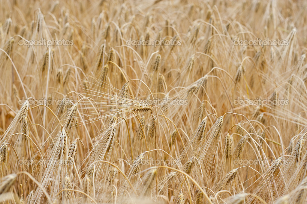 Field rye  — Stock Photo #6941233
