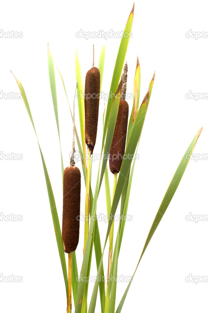 Reed it is isolated on a white background.  Foto de Stock   #6791187