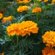 Orange marigolds - Stock Photo