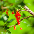 Redcurrant Bunch — Stock Photo
