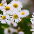 Erigeron Alpinus — Stock Photo