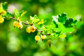 Ripe Gooseberry — Stock Photo