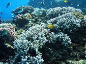 Grup mavi su mercan. — Stok fotoğraf