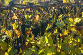 Vineyard row in late October — Stock Photo