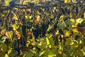Winnica wiersz pod koniec października — Zdjęcie stockowe
