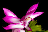 Christmas Cactus Flower — Stock Photo