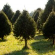 Fraser Fir christmas tree in farm — Stok fotoğraf